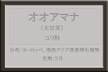 *オオアマナ名札2.jpg