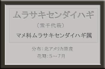 *ムラサキセンダイハギ名札_edited-1.jpg