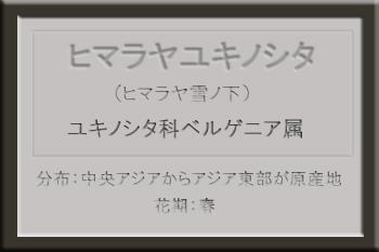 *ヒマラヤユキノシタ名札_edited-1.jpg