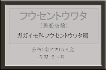 *フウセントウワタ名札_edited-1.jpg